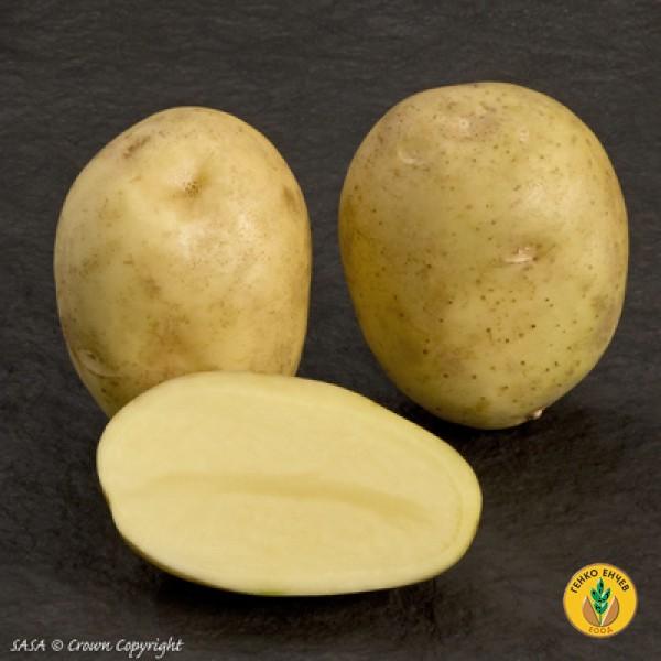Картофи Алмера ( Almera ) от производител Agrico